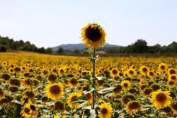 zonnebloem maaiveld
